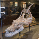 Achelousaurus skull