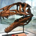 Acrocanthosaurus skull