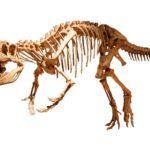 Afrovenator skeleton