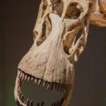 Alamosaurus skull
