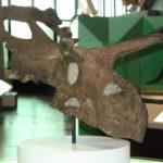 Albertaceratops skull scaled