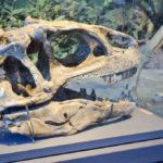 Allosaurus skull skeleton