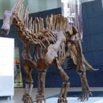 Amargasaurus skeleton