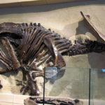 Anchiceratops skeleton