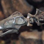 Apatosaurus head specimen