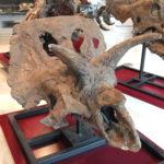 Arrhinoceratops skull scaled