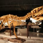 Aucasaurus skeleton