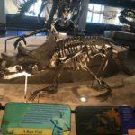 Avaceratops skeleton scaled