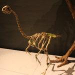 Avimimus skeleton scaled