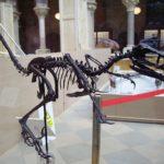 Bambiraptor skeleton