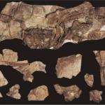 Beipiaosaurus fossil