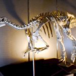 Camptosaurus skeleton scaled