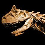 Carnotaurus head skeleton