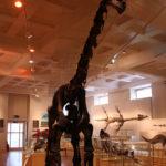 Cetiosaurus skeleton scaled