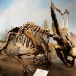 Chasmosaurus skeleton