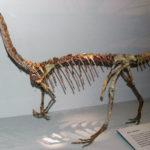 Coelophysis skeleton scaled