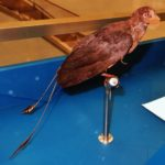 Confuciusornis long tail