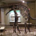 Corythosaurus skeleton scaled