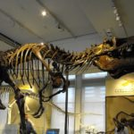 Daspletosaurus skeleton