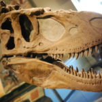 Daspletosaurus skull scaled