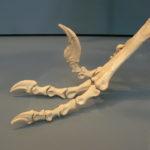 Dromaeosaurus skeleton foot