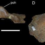 Einiosaurus postorbitals