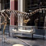 Elaphrosaurus skeleton
