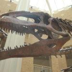 Giganotosaurus jaw skeleton