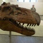 Gorgosaurus skull