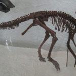 Hypacrosaurus skeleton