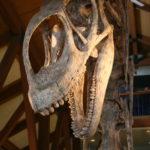 Jobaria skull scaled
