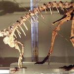 Massospondylus skeleton
