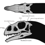 Massospondylus sketch skull