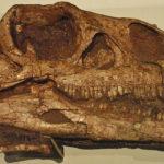 Massospondylus skull