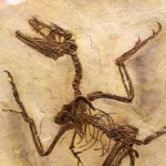 Microraptor specimen