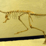 Mononykus skeleton scaled