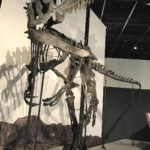 Neovenator skeleton