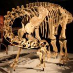 Nigersaurus skeleton