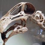 Nigersaurus skull