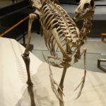 Ornithomimus skeleton scaled