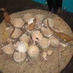 Orodromeus egg hatched