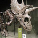 Pentaceratops skeleton