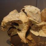 Pinacosaurus skull scaled