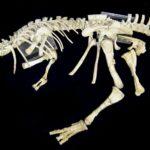 Prenocephale skeleton