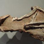 Procompsognathus specimen