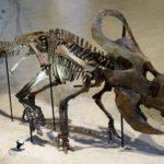 Protoceratops skeleton scaled