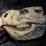 Protoceratops skull