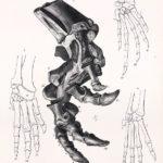Scelidosaurus leg