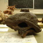 Stegoceras skull