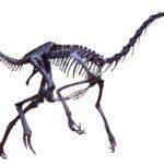 Struthiomimus skeleton